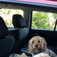 Autumn Break in Avalon Beach with 2 adorable retired Cavoodles Mini & Cooper
