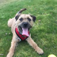 Pet Sitter Required in SW London for 1 Border Terrier Cross