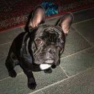 Who wants to have fun playing with our energetic, playful, and absolutely adorable French Bulldog?