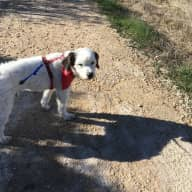 Looking after Alfie - 8 year old male poodle terrier mixed breed.
