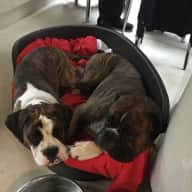 Pet and house sitter needed for our Beautiful boxer's