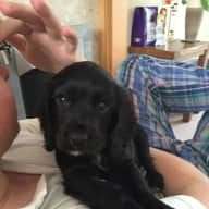 Housesitter needed for one week to look after our gorgeous cocker puppy!