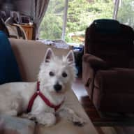 House and dog sitter for friendly Westie