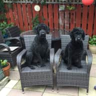 Pet sitter needed for 2 very well behaved Labradoodles