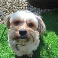 Pet/House-sitter needed for the new little man in my life - Scooby.