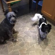 Dog sitter for three quirky rescue dogs in Devon.