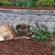 UPDATED!!!  Pet sitter needed for our 7-year old Leonberger mix for 2 weeks in beautiful South Shore Nova Scotia.