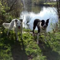 Collies in the English Countryside