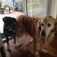 Pet sitter needed for our 10 yr old Golden Retriever and Boxer dogs for 3 weeks in Indented Head Victoria