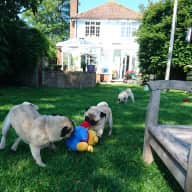 Regular, dog savvy, relaxed home sitter needed for three pugs