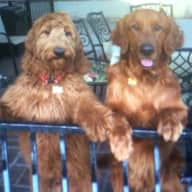 Loving pet sitter needed for our two boys.  Cody, (Golden Retriever,  3 years old and Carson (Golden Doodle) 2 years old