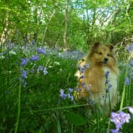 Fancy a short break with my lovely Sheltie in a Somerset cottage?