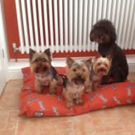 Dog Sitter for 3 adorable Yorkies and a sweet natured rescue poodle cross