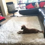 Experienced dog sitter required to care for our 3 little poodles