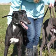 URGENT couple or single person needed to care for our gentle greyhound