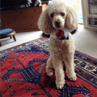 Caring Housesitter/s required for friendly well behaved miniature poodle and elderly indolent cat.
