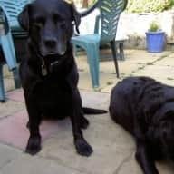 Pet-sitter required for our labrador