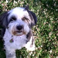 Pet and house sitter required for a 6 year old Tibetan Terrier