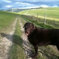 Pet Sitter required for Choc Brown Lab from time to time