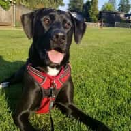 Dogsit for 18 month old Great Dane / Lab in Palo Alto, Ca