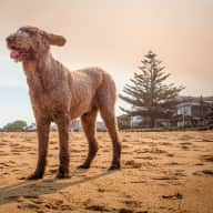 Spend Christmas and New Year in Sydney with the world's most adorable Labradoodle