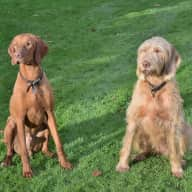Pet sitter needed for our two wire haired vizslas, dog (currently entire) aged 8 months and bitch (spayed) nearly 7. Reasonably obedient, slightly mad, very friendly.