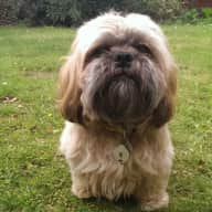 Pet sitter needed for our Tibetan Terrier and Shih Tzu