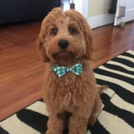 Historic Plano, TX and Mini Golden Doodle!
