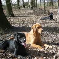 Hi, I need someone with experience of looking after a lot of energetic working labradors
