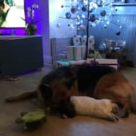 Playful 3yo German Shepherd & her 2 housecat pal looking for friendly experienced animal loving sitter