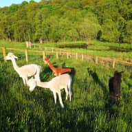 Pet sitters required to look after 3 retired racing greyhounds, 15 chickens and 9 alpacas