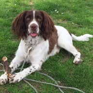 Pet sitter needed for Springer Spaniel  in Brussles