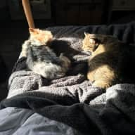 Housesit for friendly Manx cat and Yorkshire Terrier in Rome
