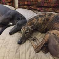 lovely lazy greyhounds in beach side unit