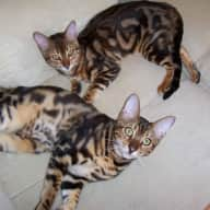 2 house cats that have never been in a cattery