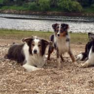 2 border collies and 1 Mini American Shepherd would like someone to love them and exercise them as our Mammy does.