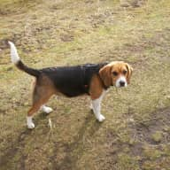 Sitter for loveable Beagle called Lilly, Monifieth near Dundee Scotland