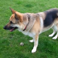 Reliable person needed to look after German Shepherd, two cats and a flock of hens and ducks