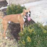 Energetic Boxer pup looking to make new friends & housesitter needed