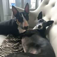 Pet sitter required for 3 dogs in central London, 17th August - 2nd September
