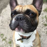 We are three French bulldogs looking for a loving pet sitter
