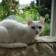 Snowy - very gentle domestic cat -  in Cornwall