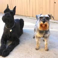 Pet sitters needed for a giant and mini schnauzer who love their walks