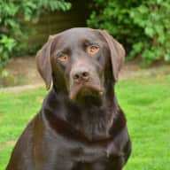 Pet/House Sitter for 2 dogs (choc lab and retriever) in Hertfordshire