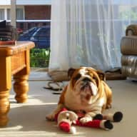 Loveable British Bulldog Zoe