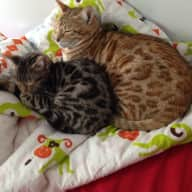 Cat sitter needed for two cats for a month in Toronto