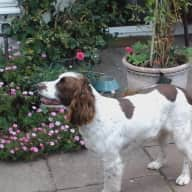 Gentle Roly, 12 Year old springer spaniel,