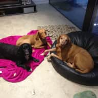 Housesitter required for 3 lively but friendly dogs Cheshire