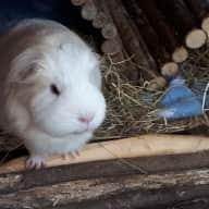 Piggie-ville