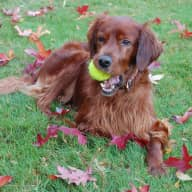 Pet sitter for very active Irish setter in Oxshott
